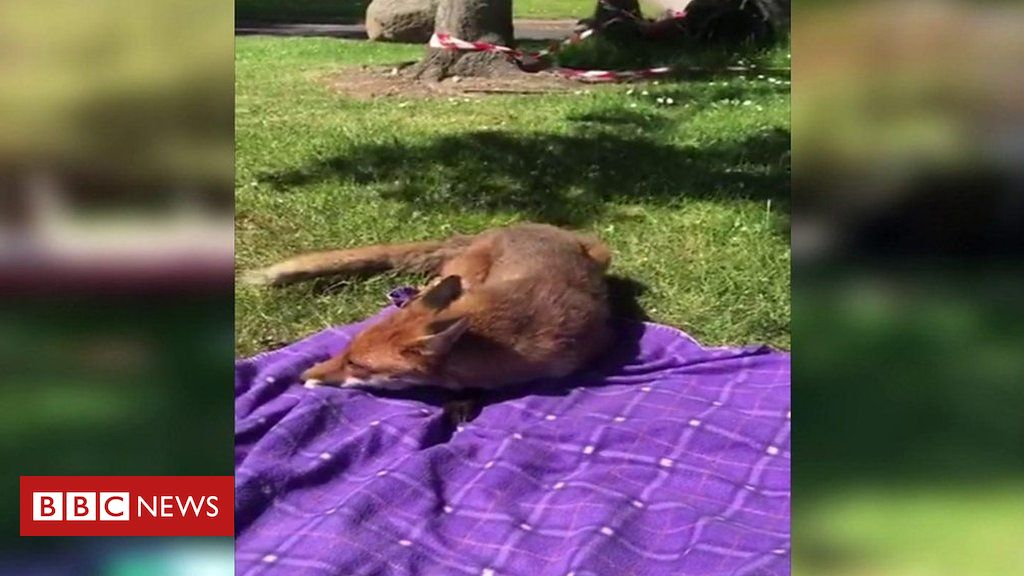 Fox fearlessly approaches woman during picnic