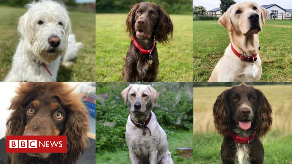 Coronavirus: Sniffer dogs trial going 『very well』