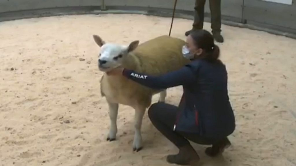 World's most expensive sheep sold for £368,000